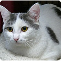 Domestic Shorthair Cat for adoption in Milford, Massachusetts - Felice