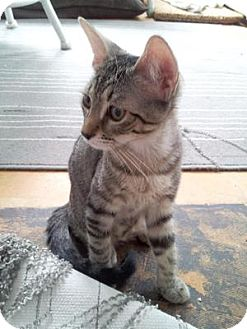 Domestic Shorthair Cat for adoption in Queens, New York - Apollonia