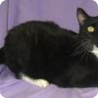Domestic Shorthair Cat for adoption in Powell, Ohio - Gabriel