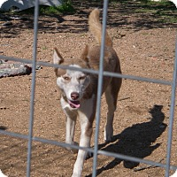 Adopt A Pet :: Asha - Buchanan Dam, TX