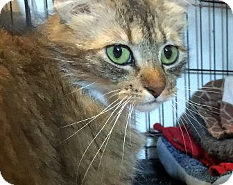 Domestic Longhair Cat for adoption in San Jose, California - Dolly Parton