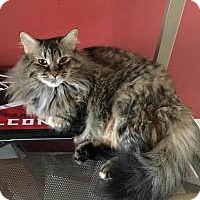 Maine Coon Cat for adoption in Smyrna, Georgia - Chloe
