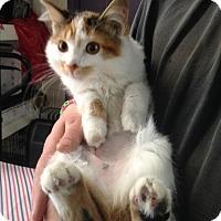 Domestic Longhair Cat for adoption in Covington, Kentucky - Fluffer Nutter