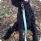 Adopt A Pet :: Baxter Bentley