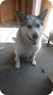 Siberian Husky Mix Dog for adoption in Cavan, Ontario - Nakaya