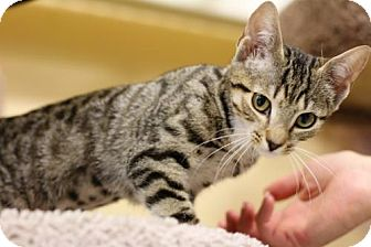 Domestic Shorthair Cat for adoption in Cary, North Carolina - Nicola