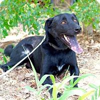 Australian Kelpie/Labrador Retriever Mix Dog for adoption in Olympia, Washington - Chaz
