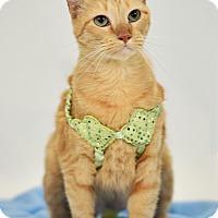 Adopt A Pet :: Sarabi - St. Louis, MO