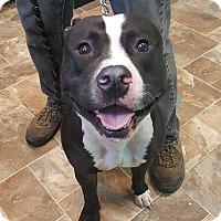 Adopt A Pet :: Tank @DCAC - Wyandotte, MI