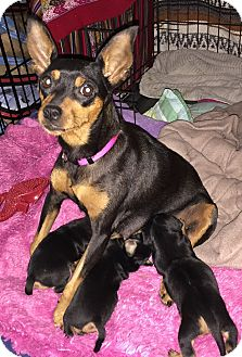 Miniature Pinscher Dog for adoption in West Palm Beach, Florida - Lia