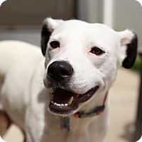 Jack Russell Terrier/Terrier (Unknown Type, Medium) Mix Dog for adoption in Aubrey, Texas - Sunny