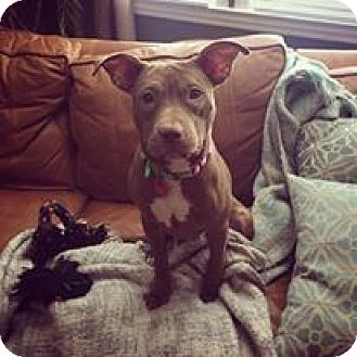American Pit Bull Terrier/American Staffordshire Terrier Mix Puppy for adoption in Baltimore, Maryland - Pumpkin
