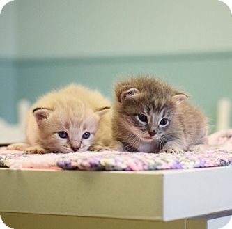 Domestic Shorthair Kitten for adoption in Dallas, Texas - Suri