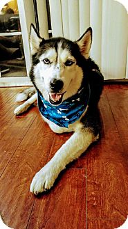 Siberian Husky Dog for adoption in Clearwater, Florida - Boogie
