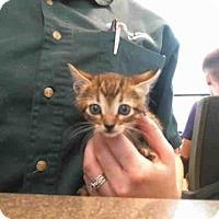 Adopt A Pet :: FRISKY - Plano, TX