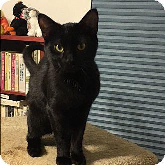 Domestic Shorthair Kitten for adoption in Covington, Kentucky - Bam Bam