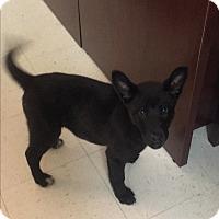 Adopt A Pet :: Ria - Nashville, TN