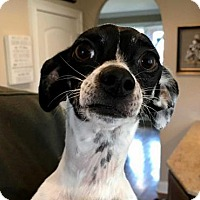 Chihuahua/Rat Terrier Mix Dog for adoption in Norfolk, Virginia - TY
