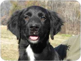 Flat Coated Retriever Cross Clark | Adopted Puppy ...