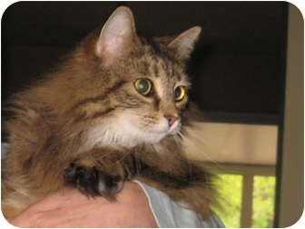 Maine Coon Cat for adoption in Centerburg, Ohio - Piper