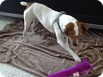 Jack Russell Terrier Dog for adoption in Scottsdale, Arizona - SHAYNA
