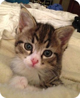 Domestic Mediumhair Kitten for adoption in Reston, Virginia - Bo