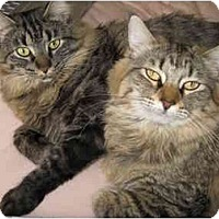 Adopt A Pet :: Dove - Mesa, AZ