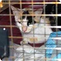 Adopt A Pet :: Calico Girl - Island Park, NY