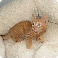 Adopt A Pet :: Butter - Spotsylvania, VA