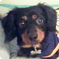 Adopt A Pet :: Boe Boe Blizzard - Houston, TX