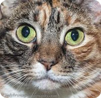 Domestic Shorthair Cat for adoption in Wellesley, Massachusetts - Flame