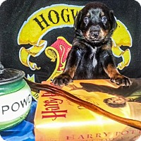 Adopt A Pet :: Zp litter - Dobby - Livonia, MI