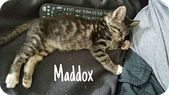 Domestic Mediumhair Kitten for adoption in Tega Cay, South Carolina - Maddux