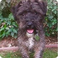 Poodle (Miniature) Mix Puppy for adoption in Irvine, California - LENA