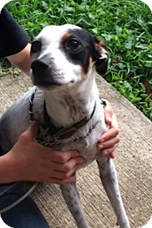 Rat Terrier Dog for adoption in Lafayette, Louisiana - Sarah