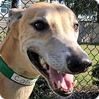 Greyhound Dog for adoption in Longwood, Florida - Calvin Harrison