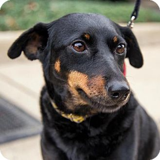 Manchester Terrier/Feist Mix Dog for adoption in Arlington, Virginia - Juliette - ADOPTED!