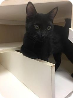 Domestic Shorthair Kitten for adoption in Cumming, Georgia - Harold