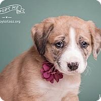 Adopt A Pet :: Farrah - Chandler, AZ