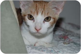 Domestic Shorthair Cat for adoption in Scottsdale, Arizona - Sparkles