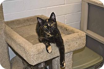 Domestic Shorthair Cat for adoption in New Port Richey, Florida - Kate
