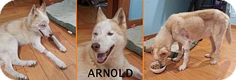 Husky Mix Dog for adoption in Gainesville, Florida - Arnold