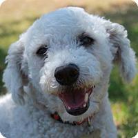Adopt A Pet :: Bijou - La Costa, CA