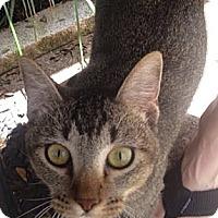 Adopt A Pet :: Sheba - Dallas, TX