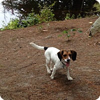 Adopt A Pet :: Rosy - Grafton, MA