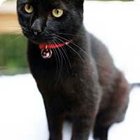 Adopt A Pet :: Beans - Merrifield, VA