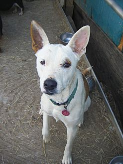Australian Shepherd/Ibizan Hound Mix Dog for adoption in Mansfield, Texas - Tia