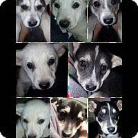 Adopt A Pet :: Puppies female - Las Vegas, NV
