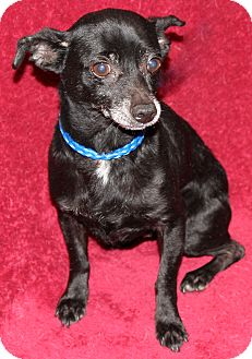 Chihuahua/Dachshund Mix Dog for adoption in Va Beach, Virginia - Herbie
