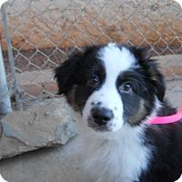 Adopt A Pet :: Zorro - dewey, AZ